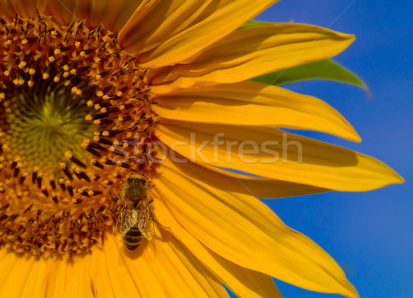 A Honeybee Collecting Pollen from a Yellow Sunflower Stock photo © Frankljr