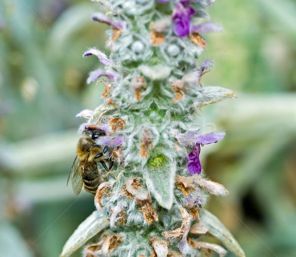 Honingbij bloei oor plant voorjaar gras Stockfoto © Frankljr