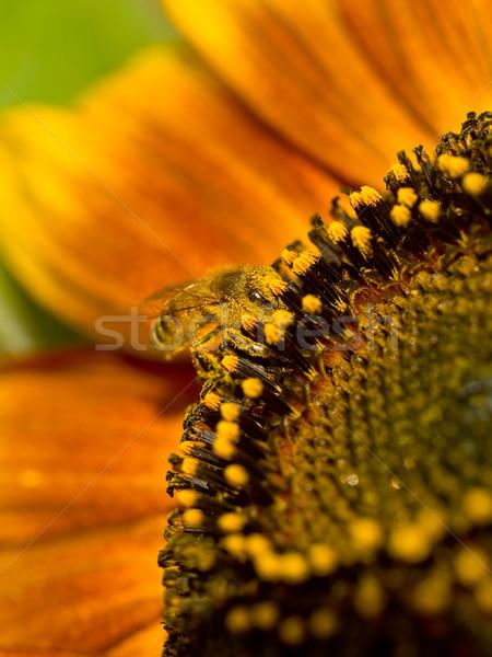 Méh fedett virágpor napraforgó égbolt nap Stock fotó © Frankljr