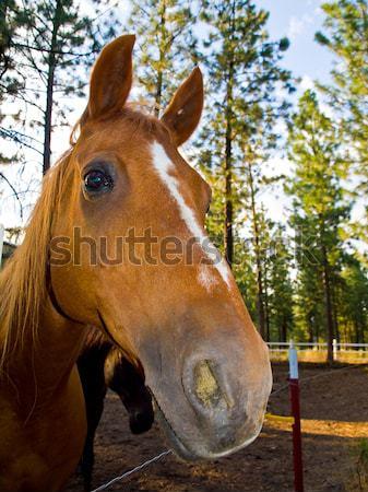 Horse Portrait Stock photo © Frankljr