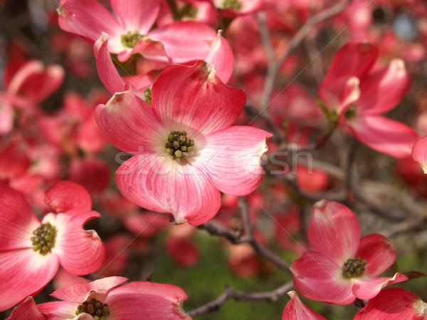 Pink Dogwood Tree Blooms Stock photo © Frankljr