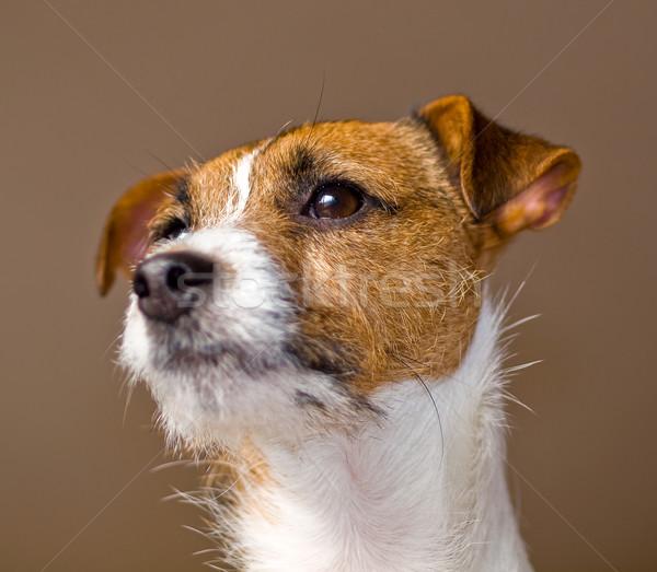 Portrait of a Cute Jack Russell Terrier Stock photo © Frankljr