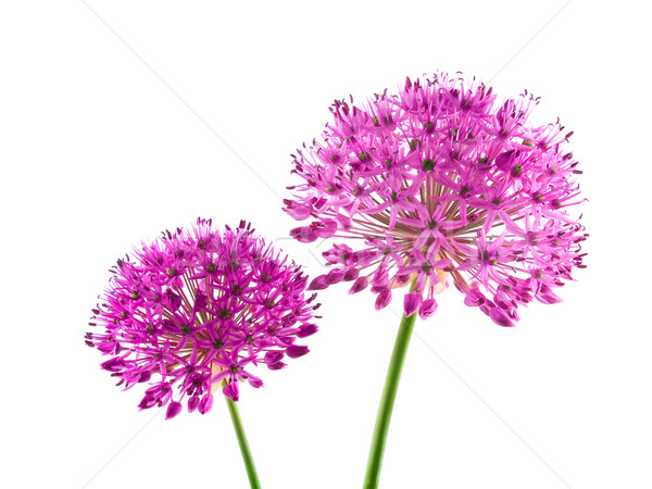 Allium Purple Sensation Flowers Isolated on White Stock photo © Frankljr
