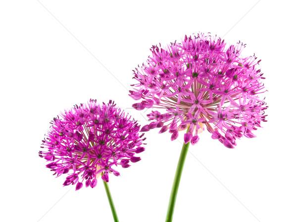 Stock fotó: Lila · virágok · izolált · fehér · kert · háttér