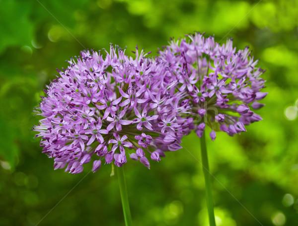 Stock fotó: Lila · virágok · növekvő · napos · kert · földgömb