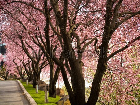 Trees with Bright Pink Blossoms Stock photo © Frankljr