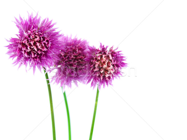Flowering Chives Isolated Stock photo © Frankljr