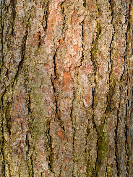 Yaprak dökmeyen ağaç havlama doku gün batımı duvar Stok fotoğraf © Frankljr