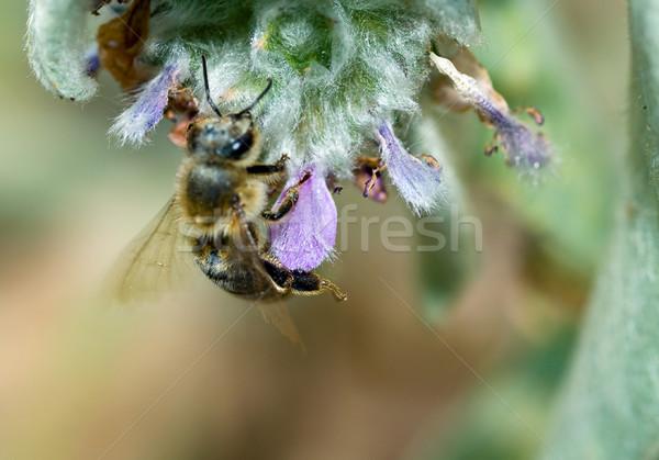 çiçekli kulak bitki bahar çim Stok fotoğraf © Frankljr