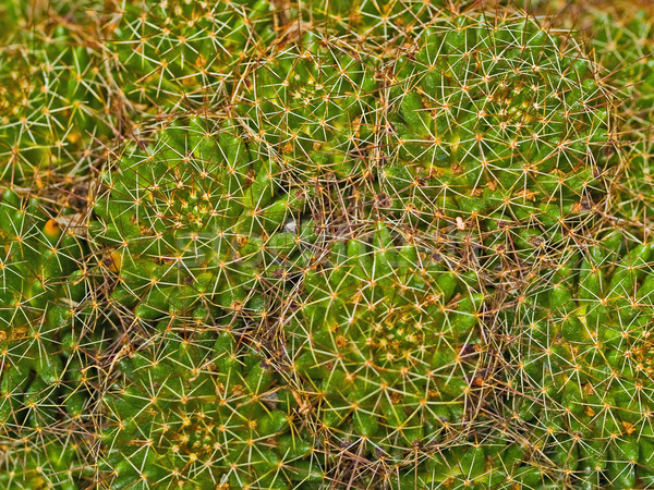 Cactus Macro Textures Ouch Stock photo © Frankljr