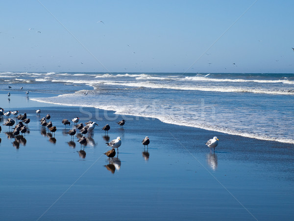 A Variety of Seabirds at the Seashore Stock photo © Frankljr