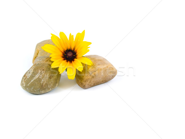 Sarı papatyalar gri taşlar yalıtılmış beyaz Stok fotoğraf © Frankljr