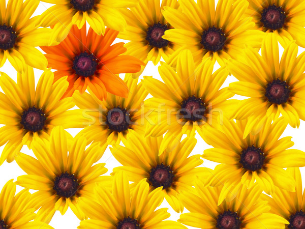 Yellow daisy flowers repeated with a single orange bloom Stock photo © Frankljr