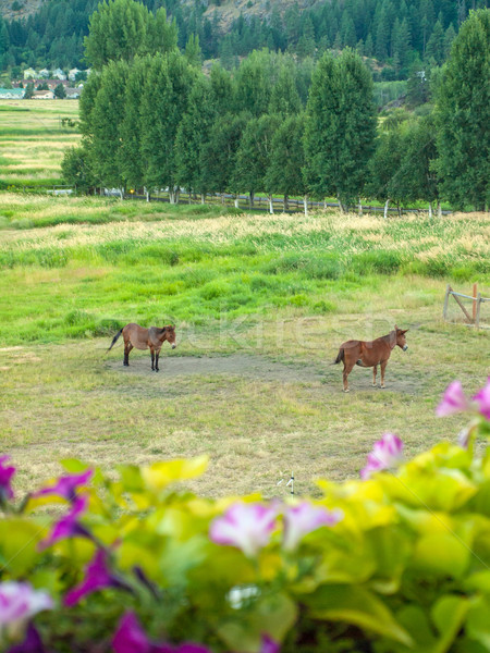 Horses in a Fenced Field with Mountains Stock photo © Frankljr