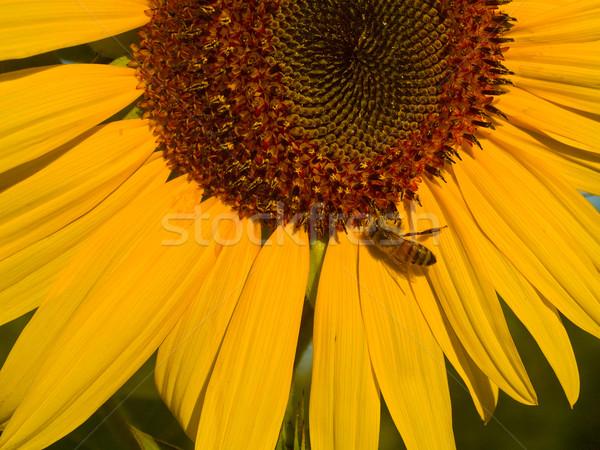 Honingbij gedekt stuifmeel zonnebloem hemel zon Stockfoto © Frankljr
