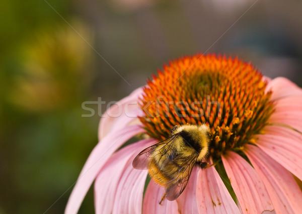 Abejorro cono flor belleza verano Foto stock © Frankljr