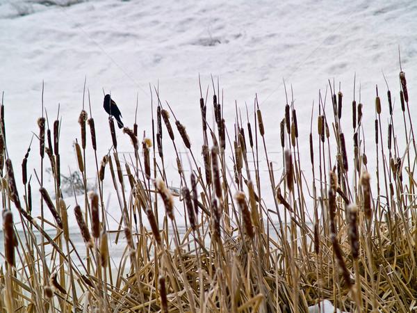 Frozen Marsh Area on an Overcast Da Stock photo © Frankljr