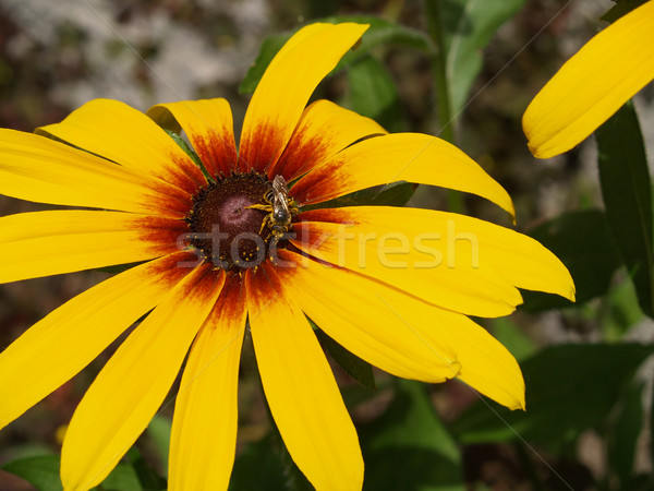 Jaune Daisy couvert pollen printemps Photo stock © Frankljr