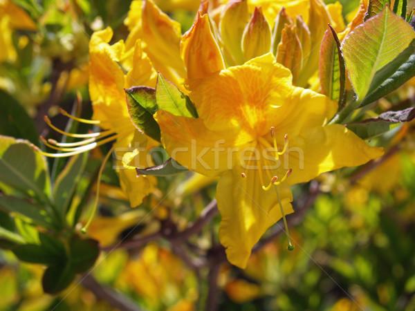 Sarı nadir renk tok çiçeklenme çiçek Stok fotoğraf © Frankljr