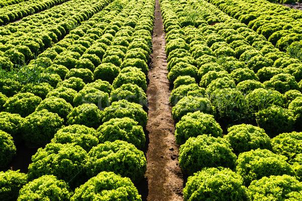 Salada grande agricultura campo tarde Foto stock © franky242