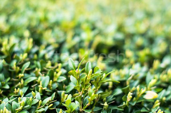 Folhas verdes verão árvore natureza Foto stock © franky242