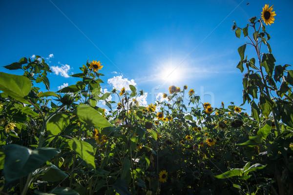 Girassol campo sol nublado blue sky Foto stock © franky242