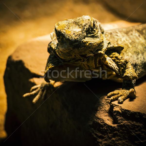 ящерицы позируют песчаник зеленый коричневый Сток-фото © franky242