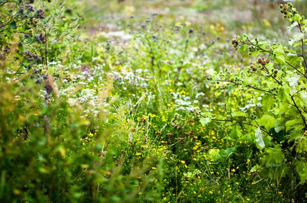 Domaine fleurs sauvages dynamique ciel herbe Photo stock © franky242