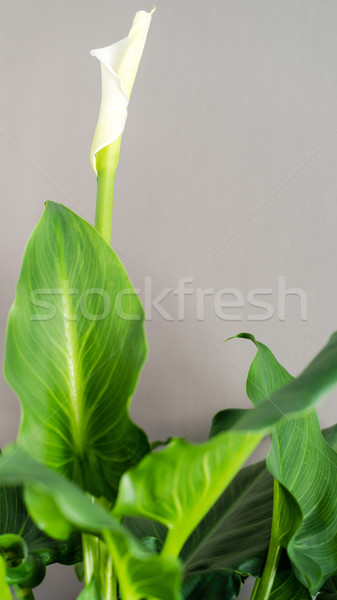 White Calla Lily Stock photo © franky242