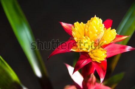 Blossoming Bromeliad Plant Stock photo © franky242