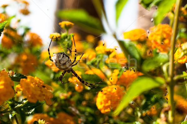 Spider желтые цветы женщины глаза лет Сток-фото © franky242