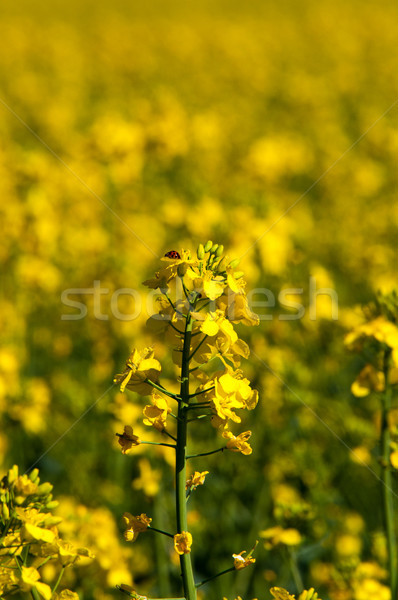 Rapeseed field closeup Stock photo © franky242