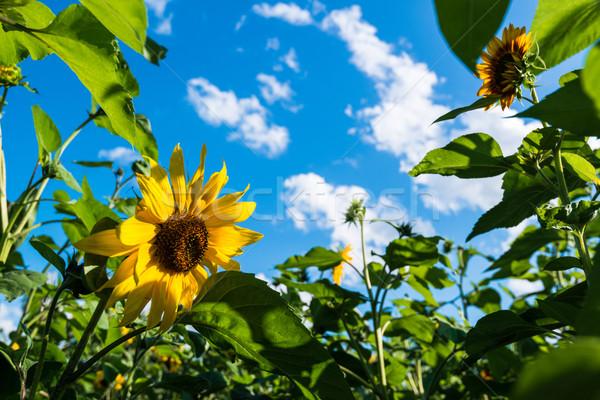 Girassol campo nublado blue sky luz solar tarde Foto stock © franky242
