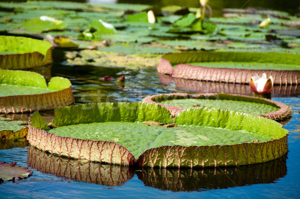 Victoria Regia -  Water lilies Stock photo © franky242
