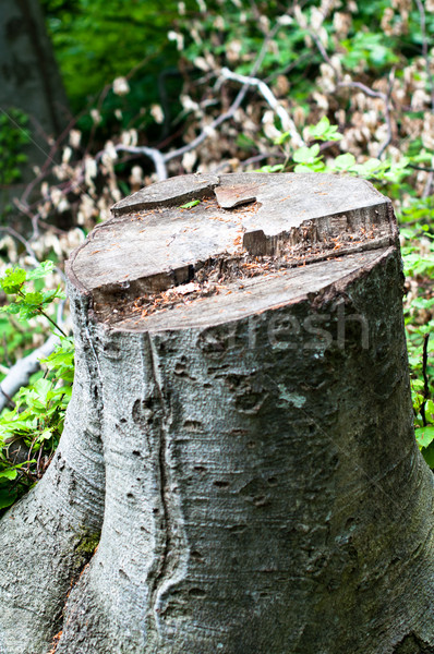 Felled Stock photo © franky242