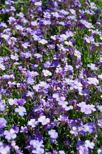 Moi pas fleurs jardin fleur Photo stock © franky242