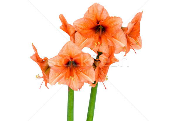 Orange Amaryllis in full blossom Stock photo © franky242