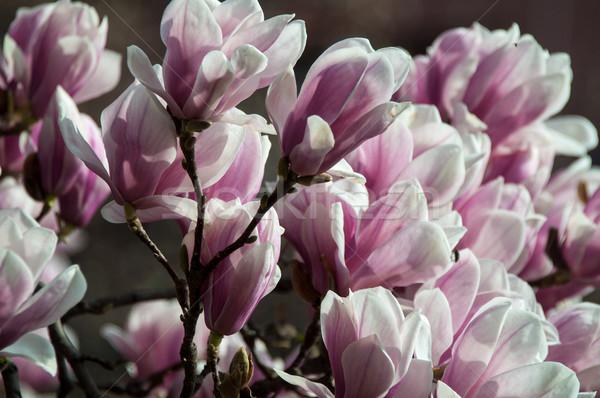 Photo stock: Rose · magnolia · fleur · plein · fleurir