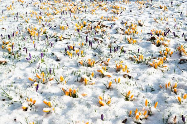 Açafrão flores neve primeiro Foto stock © franky242