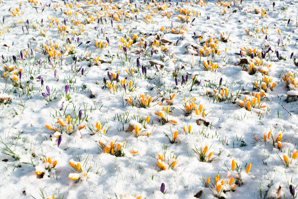 Stock photo: crocus flowers in snow