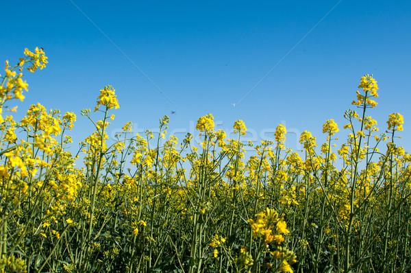 Canola field closeup Stock photo © franky242