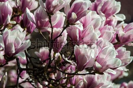 Foto stock: Magnólia · flor · completo · florescer · flor