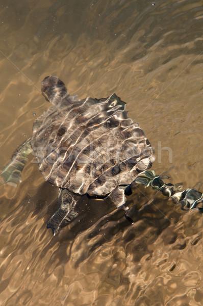 European Pond Terrapin Turtle Stock photo © franky242