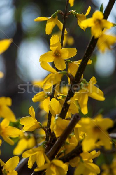 Arbuste plein fleurir printemps Pâques ciel Photo stock © franky242