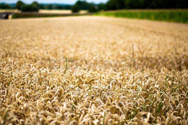 Différent champs or maïs vert santé Photo stock © franky242