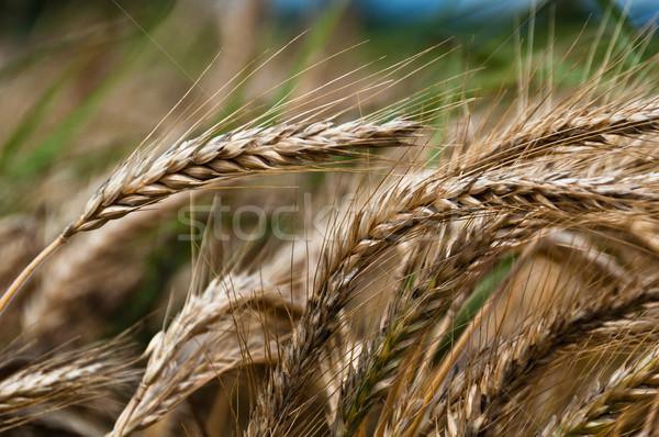 Kornfeld Ernte Himmel Sonne Weizen Stock foto © franky242