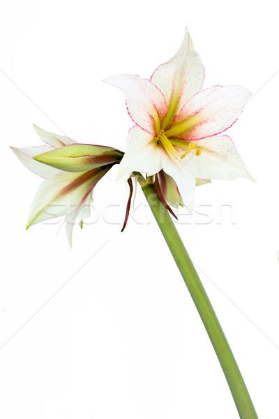 Blanche fleur belle fleurs isolé nature Photo stock © franky242
