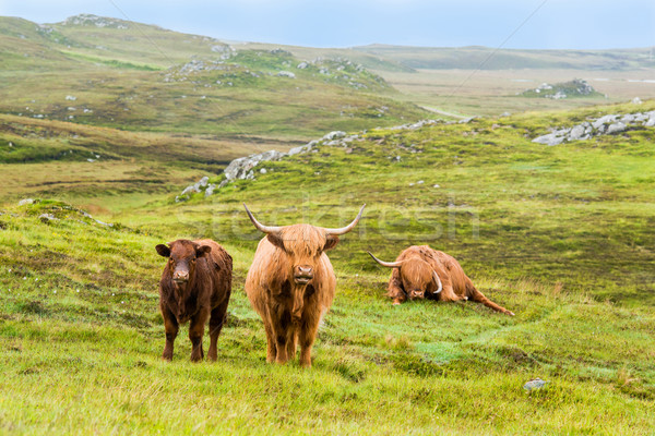 Scottish Highland Cows in the rain Stock photo © franky242