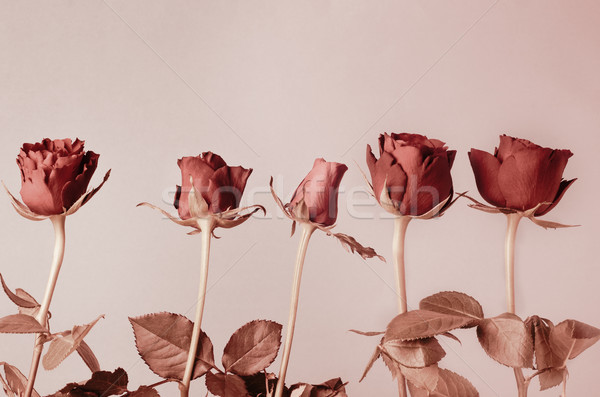 Row of Roses in Muted Copper Red Hues Stock photo © frannyanne