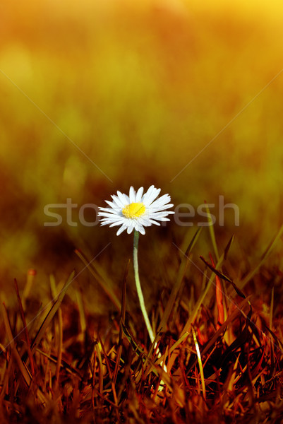 Daisy in Scorched Grass Stock photo © frannyanne